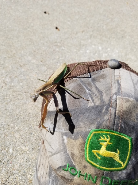 Praying Mantis camping my hat
